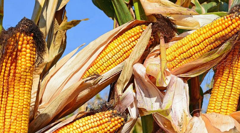 Prinosi kukuruza dobri, ratari nezadovoljni cenom