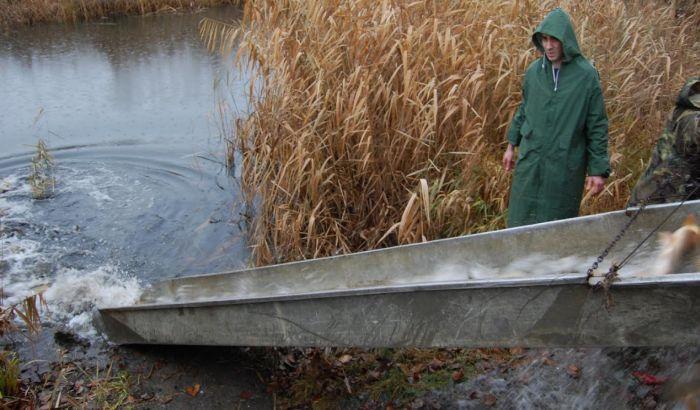 Dunav poribljen sa 17.000 kilograma mlađeg šarana