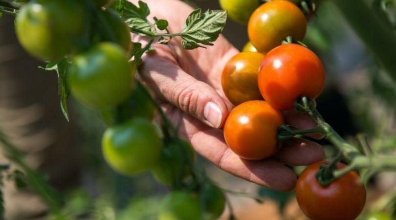 Ko su dobre, a ko loše komšije paradajzu?