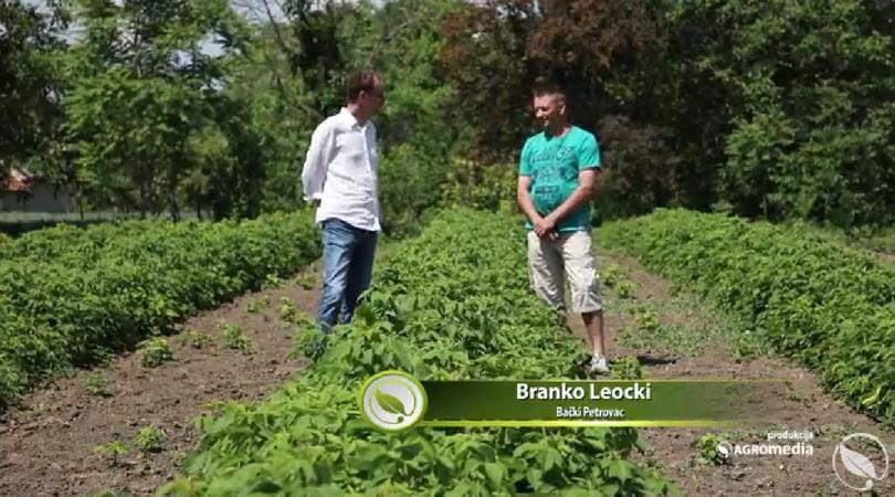 Maline sve popularnije u Bačkom Petrovcu (VIDEO)