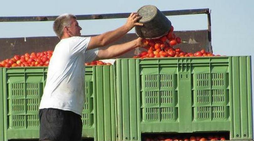 Trinaest hektara pod paradajzom