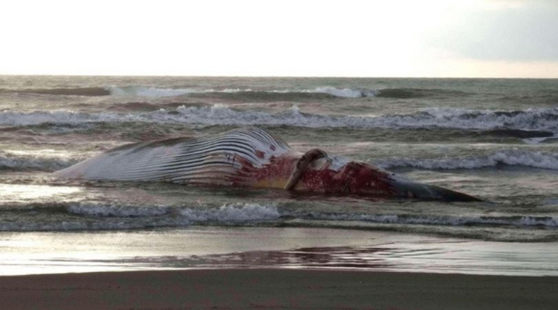 Pronađen uginuli kit u Italiji prepun plastike