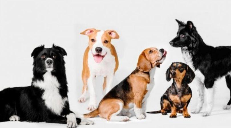 Istraživanje: Bul terijeri nisu najopasnije rase, najagresivniji su ovi mali psi