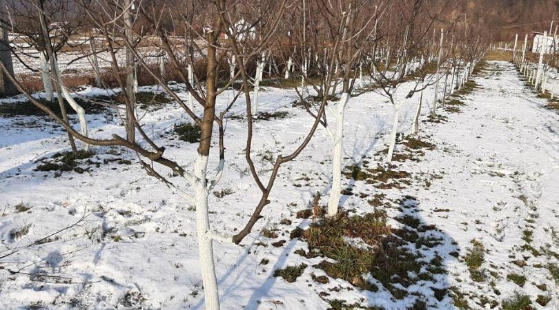 Dezinfikujte rupe za sadnju voća – krajnje je vreme za krečenje stabala
