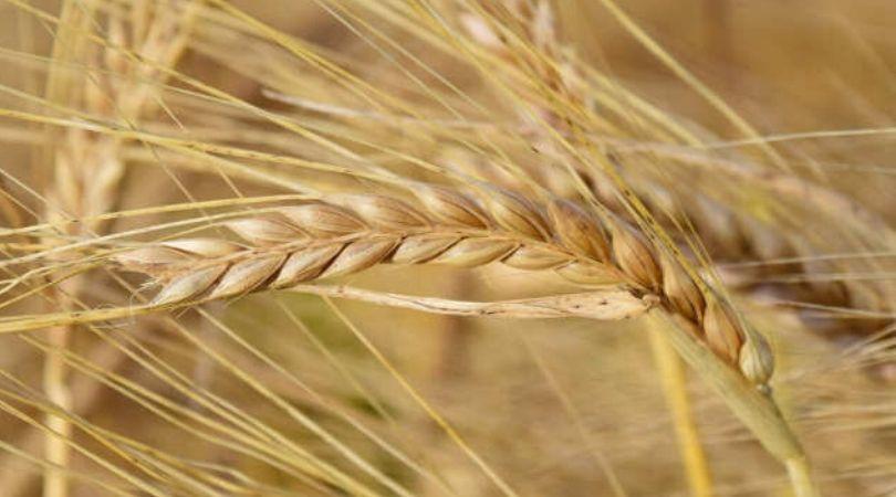 Dozvoljen uvoz pšenice bez carine – Da li je domaća toliko loša?