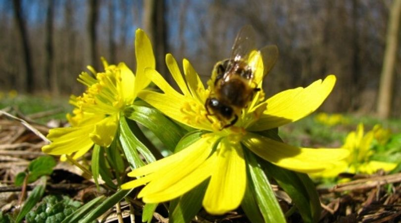 Kukurjak, zaštićena biljna vrsta koja raste u Bagremari