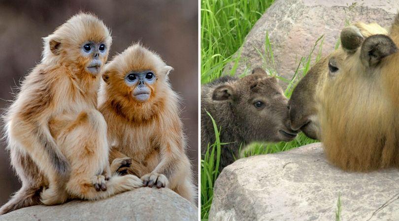 Getty Images: Zlatni kratkonosi majmun (levo) i gnu koza (desno)
