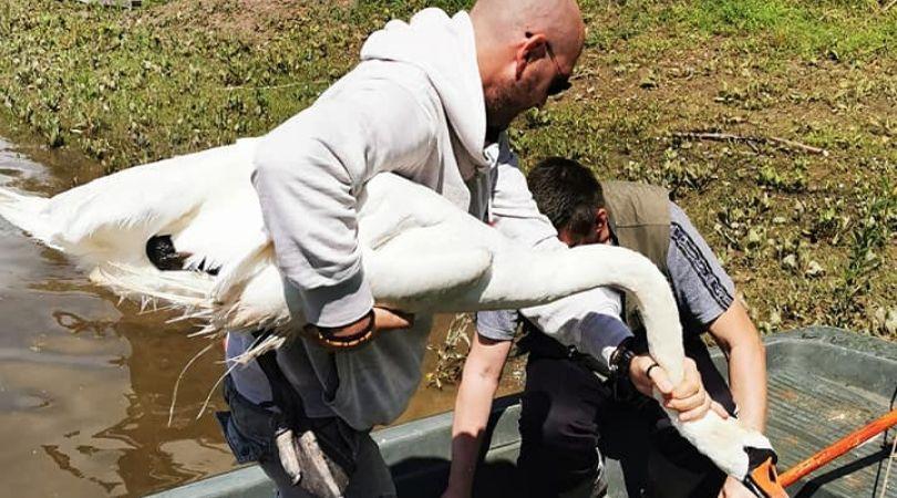 Povređen labud na Tikvari zbrinut zahvaljujući savesnom građaninu